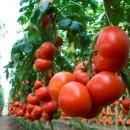 Трованзо, прунус, органза и хибачи - четыре сорта томатов будет выращивать резидент ТОСЭР «Череповец» - тепличный комплекс «Новый»